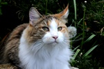 Felis catus (Maine Coon)